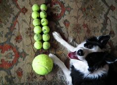 Look at what I made! - Our Border Collie making a point....