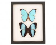 two framed blue morpho butterflies