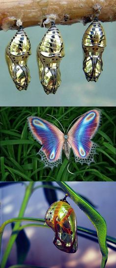 Golden Cocoon Butterfly.