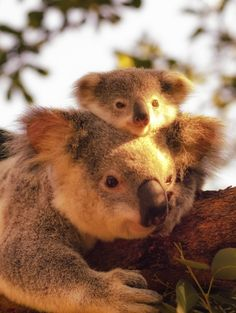 Baby Koala is sticking close to Mum, but wants to know everything that's giooing on.....I guess that's the same for the young of most species, especially ours! LOL!