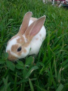 My bunny Max (:  #bunny #rabbit #minirex