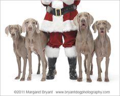 Santa's Weimaraners
