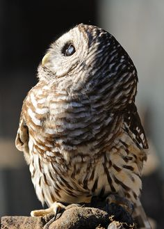 Barred owl. I think this is one of my favorite owl pictures ever.
