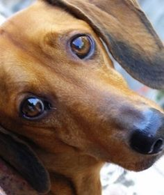 Best Dog Food for Dachshunds - He's Sure To Love These!