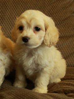 Cockapoo Puppies - adorable small white/cream wavy female. Soooo cute!