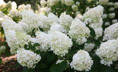 Buy hydrangea Hydrangea paniculata Silver Dollar - Spectacular, conical flowerspikes: 2 litre pot: Delivery by Crocus Hydrangea Paniculata, Next Garden, Dream Garden, Silver Dollar Plant, Lilacs, Hydrangea Landscaping, Lilac Tree, White Gardens