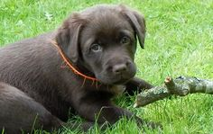 Labrador Retriever Puppies for Sale in NY