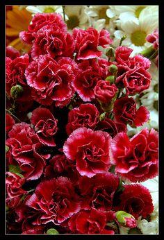carnation karanfil