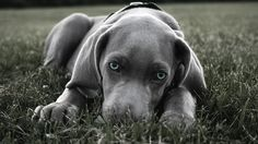 free screensaver wallpapers for weimaraner, 1920x1080 (501 kB)