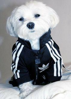 Rocky x Adidas #cutest #Puppy #Pets #Dogs