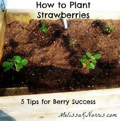 How to Plant Strawberries. I want everbearing strawberries next year. In our raised bed.