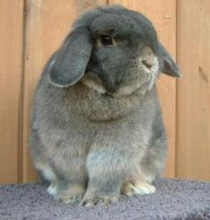 Opal Holland Lop