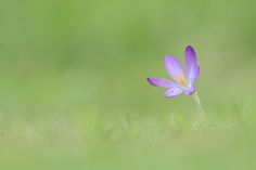 Crocus by Christopher Mouisset on 500px