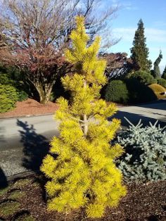 Kigi Nursery - Pinus contorta ' Chief Joseph ' Golden Shore Pine, $35.00 (http://www.kiginursery.com/dwarf-miniatures/pinus-contorta-chief-joseph-golden-shore-pine/)