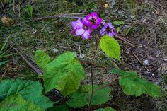 Rubus odoratus Tuoksuvattu