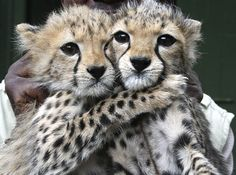 """""""Two female cheetah cubs abandoned by their mother in Tsavo East, Kenya, are now being cared for at the Nairobi Orphanage. Big Cats, Cool Cats, Cats And Kittens, Cheetah Pictures, Animal Pictures, Beautiful Cats, Animals Beautiful, Cute Baby Animals, Animals And Pets"""