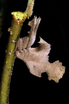 A leaf mimic bush cricket resembles the shape and colour of the leaves of the plant it lives on in Quito, Ecuador.