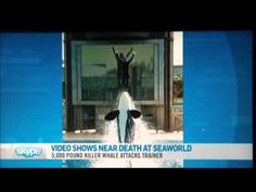 Analysis of Captive Orca Kasatka attacking Trainer Ken Peters - YouTube