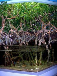 Mangrove in aquarium