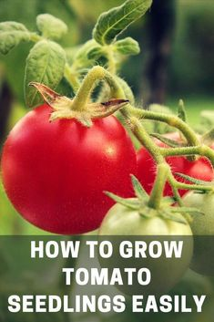 3 masterful tricks: Home kitchen garden animals vertical vegetable garden layout.V … - All For Garden Tips For Growing Tomatoes, Growing Tomato Plants, Tomato Seedlings, Growing Tomatoes In Containers, Grow Tomatoes, Cherry Tomatoes, Garden Tomatoes, Baby Tomatoes, Plant Containers