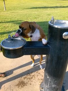 Water after a hard day of play! #boxer #doggy