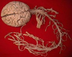 CNS. Interesting that our CNS, literally what keeps us alive, looks like that which gives us life.  . .sperm.