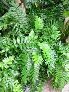 Cyrtomium falcatum - Holly Fern.  The Japanese Holly Fern has dark green, glossy, pinnate fronds and does not really look like a fern at all. Highly suitable for dry shade. Evergreen, easy to grow, and exotic in appearance. Hardy.  Buy Holly Fern - Cyrtomium falcatum - Delivery by Gardening Express