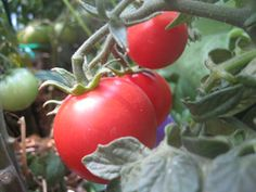"""List of top tomato varieties including """"mighty red"""" and """"super beefsteak"""" RKN resistant • SGA 