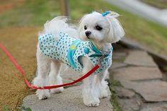 Google Image Result for http://www.dog-obedience-training-review.com/images/maltese-litter.jpg