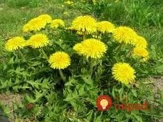 What is Dandelion (Taraxacum officinale)? How to Eat dandelion, how to forage for dandelion. Dandelion recipes, where to buy dandelion seeds. Mustard Plant, Dandelion Leaves, Dandelions, Dandelion Flower, Taraxacum Officinale, Perennial Vegetables, Edible Wild Plants, Wild Edibles, Survival Food