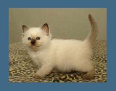 Little Chocolatepoint Ragdoll kitten Kaipo 6 weeks old