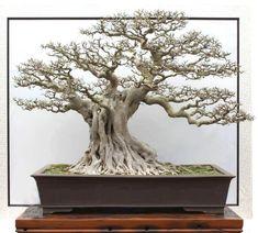 Ficus Bonsai tree with a very developed nebari