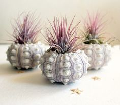 succulents in sea shells; living in FL these are easy to make, air plants everywhere!