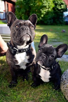 Fröken 4 years old and Stumpan 10 weeks old. Stockholm Sweden. French Bulldoggs