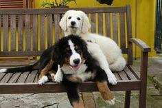 #Harry #Bernese #Mountain #Dog #Flickr #Sarah #Kuvasz