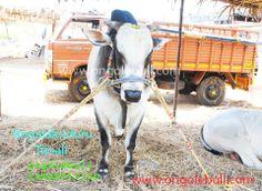 ongole bull Latest images #Ongole