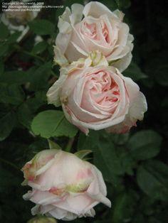 Bourbon Rose: Rosa 'Souvenir de la Malmaison' AKA 'Queen of Beauty and Fragrance' (France, 1843)