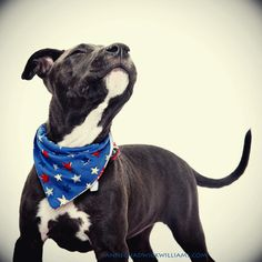 A happy American Staffordshire terrier.