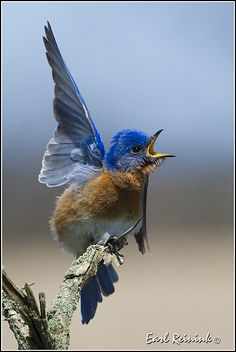 The Eastern Bluebird ~ I see these in my yard all the time ~ my favorite! Kinds Of Birds, All Birds, Little Birds, Love Birds, Pretty Birds, Beautiful Birds, Animals Beautiful, Cute Animals, Exotic Birds
