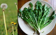 Radika (Kara Hindiba)                        -  Fügen Büke #yemekmutfak Radika aslında hepimizin bildiği, çocukken üflediğimizde tohumları tüy tüy dağılıp uçuşan, beyaz top görünümündeki bitkidir. Turkish Recipes, Bruschetta, Healthy Habits, Celery, Green Beans, Dandelion, Detox, Spices, Herbs