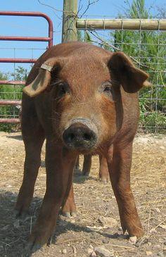 Ark of Taste: Red Wattle Hog via Slow Food USA