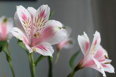 As flores e seus significados no Casamento: Astromélia. Elas não são muito conhecidas por nome, mas sua aparência sim. Os profissionais de decoração adoram pois são resistentes, ficam a festa inteira sem murchar. Significam amizade eterna e felicidade.