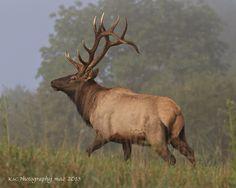 The beauty of the Elk Bull....