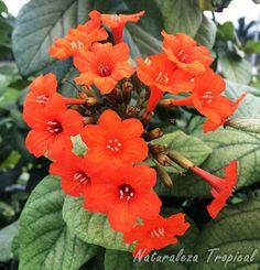 Flores del Árbol o Arbusto Nomeolvides, Cordia sebestena