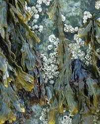 Seaweed and barnacles on a rock at Salisbury Beach. Natural Forms, Natural Texture, Patterns In Nature, Textures Patterns, Salisbury Beach, Seaweed, Sea Creatures, Belle Photo, Textile Art