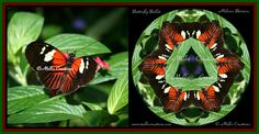 """Before and After  Butterfly Ballet –This is a postman butterfly. If a butterfly crosses your path, it means good luck. In the Japanese culture butterflies are thought to be representative of young maidens and marital bliss. In ancient Greek the word for butterfly is """"Psyche"""", which translated means """"soul"""". Butterflies also symbolize: Resurrection, Transition, Celebration, Lightness, Time, Soul. Symmetry is another manifestation of the balance of Yin and Yang, of the unimpeded flow of ch'i."""