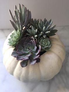 succulent_pumpkin_va