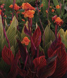 Like It Hot Dramatic foliage anchors this hot-color combination.Dramatic foliage anchors this hot-color combination. Exotic Flowers, Tropical Flowers, Tropical Plants, Beautiful Flowers, Tropical Gardens, Love Garden, Summer Garden, Bali Garden, Garden Ideas