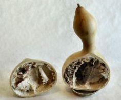 Gourd cut in half