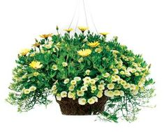 Definitely would put this in a container, not  a basket. Love the yellow. {Calibrachoa-yellow chiffon, Lobelia-white, Osteospermum-lemon symphony}!